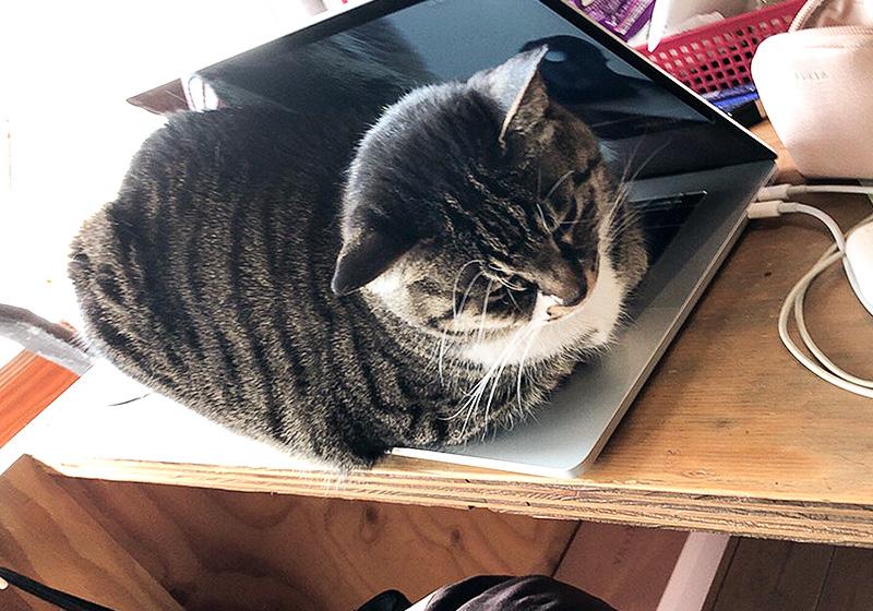 ノートパソコンに挟まれる猫